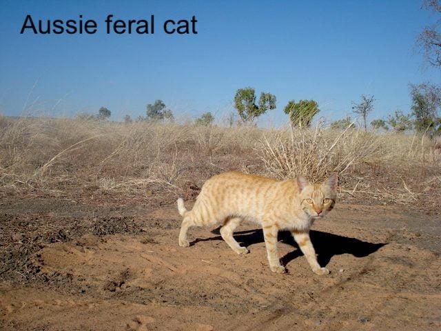 Aussie feral cat