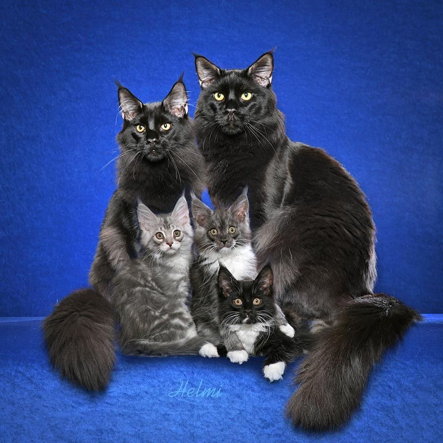 Black Maine Coon family