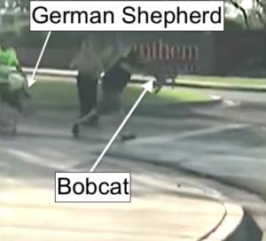 Bobcat attacks man