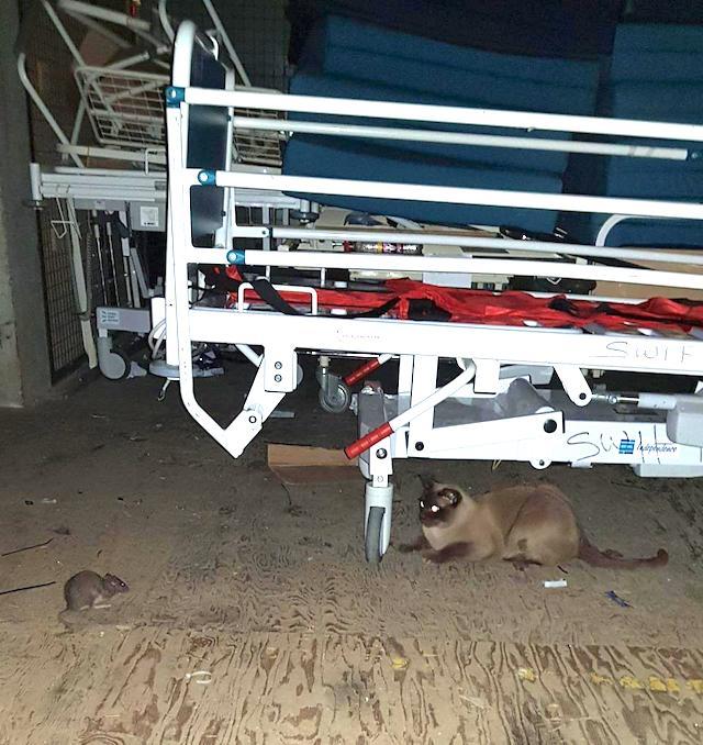 Burmese cat rat catcher at NHS hospital
