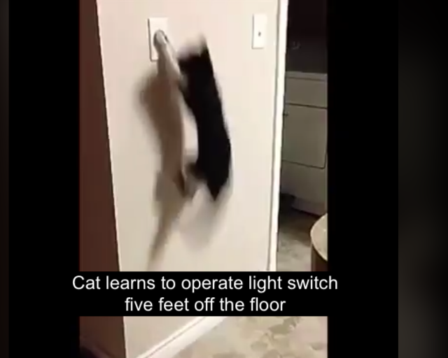 Cat learns to operate wall-mounted light switch