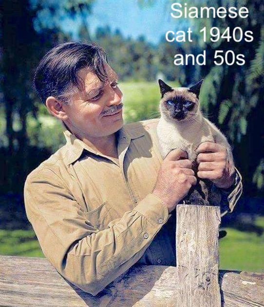 Clark Gable and Siamese cat 1940-1950 approx.