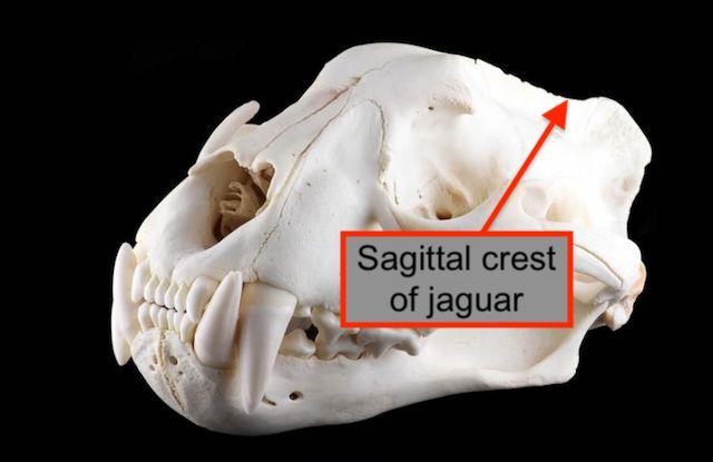 Jaguar skull showing sagittal crest