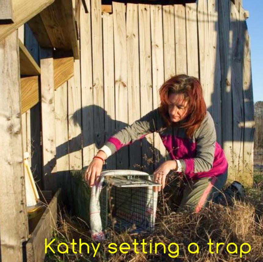 Kathy Kamins setting a cat trap