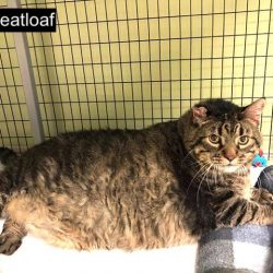Meatloaf 30 pound rescue cat