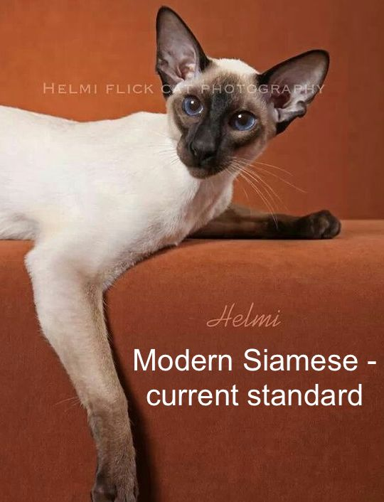 Modern Siamese approx. 2010
