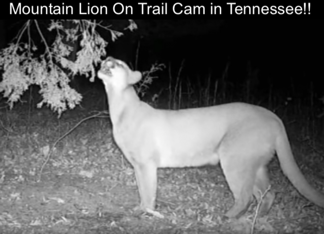 Mountain lion in Tennessee