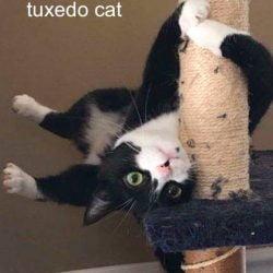 Pole dancing tuxedo cat
