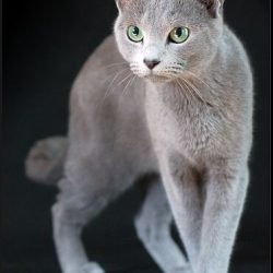 Russian Blue European type