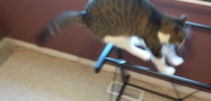 Cat does not notice glass table top is missing