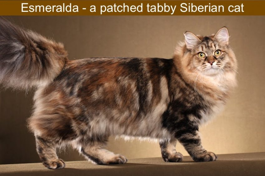 Torbie or patched tabby Siberian cat
