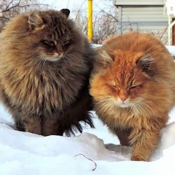 Siberian cats show how their coat protects them