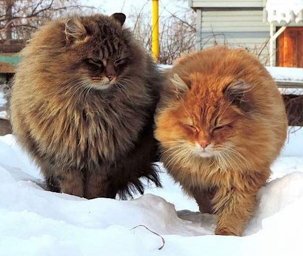 Siberian-cats-show-how-their-coat-protec