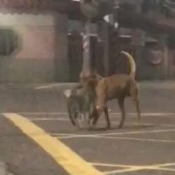 Stray dog carries cat from road to protect him/her