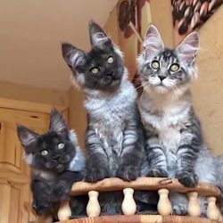 Three Maine Coon cats who will make you want one