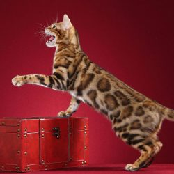 What do bengal cats look like