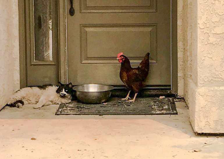 Cat and chicken rescued from California fires