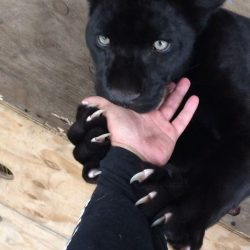 Big cat claws and human hand