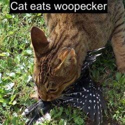 Cat eats woodpecker