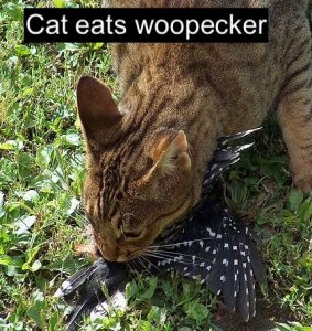 Cat eats woodpecker
