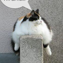 Does dry cat food cause feline diabetes?