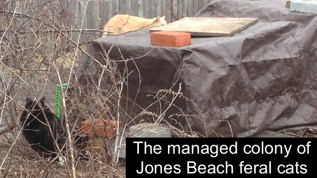 Feral cats of Jones Beach