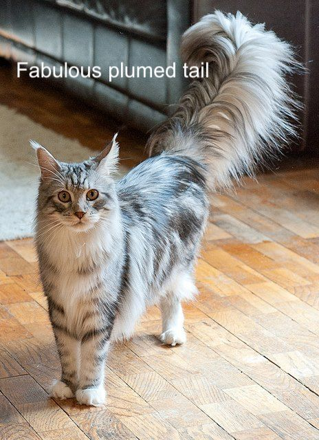 Magnificent plumed tail