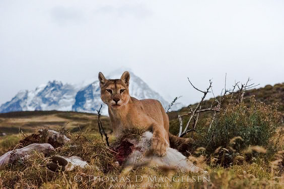 Mountain lion unburies prey and eats