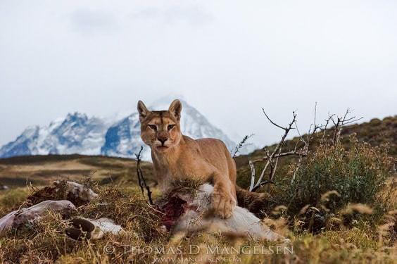 Mountain lion unburies prey and eats