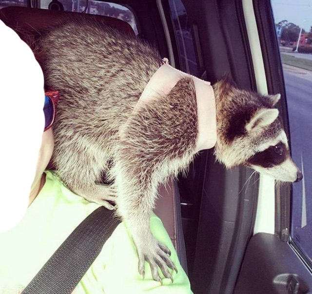 Pet raccoon of to the vets to be mutilated by her owner and a compliant vet.
