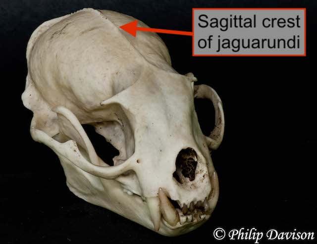 Sagittal crest of jaguarundi