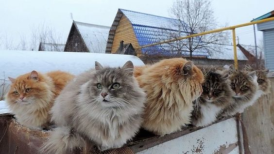 Siberian cats in their element
