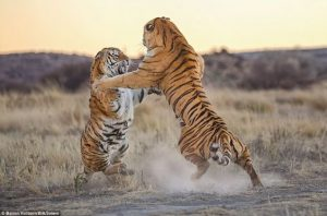 Tigers fight over territory