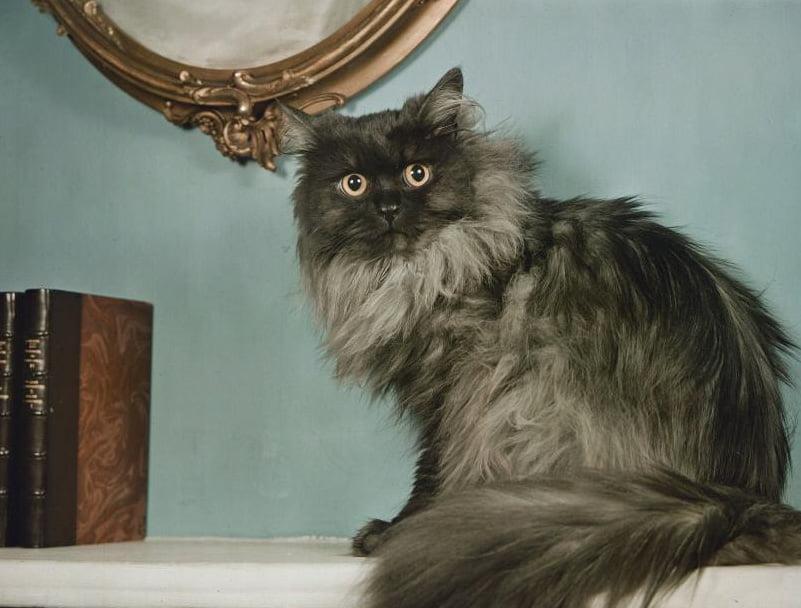 1938 Persian cat