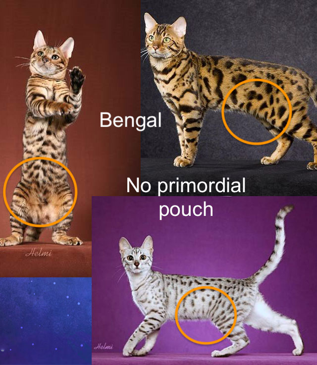 Challenging the theory on the reason for the existence of the domestic cat's primordial pouch