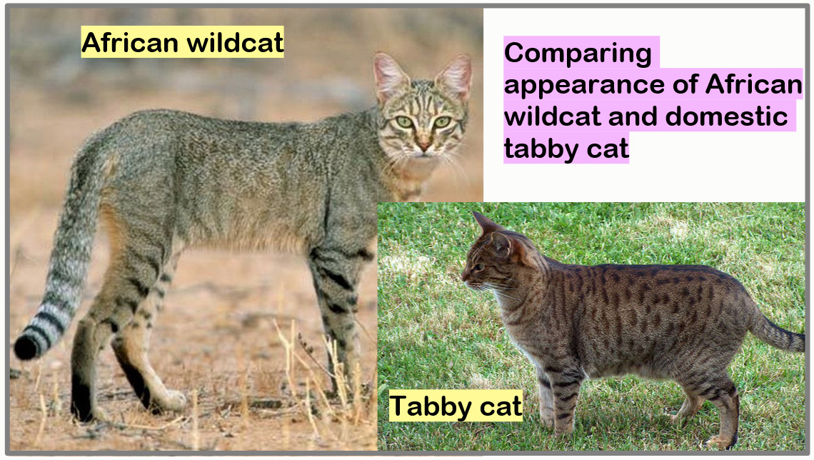 Comparing African wildcat and domestic tabby cat appearance