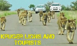 Kruger lions and tourists