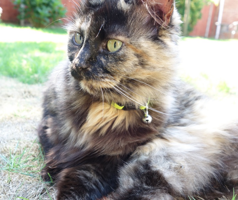 Piedie a tortoiseshell cat