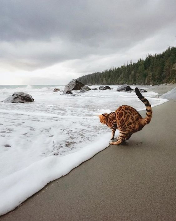 Photo of a Bengal cat on grey beach is excellent