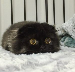 Picture of Scottish Fold cat with wide open eyes