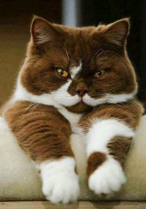 Picture of an impressive looking chocolate and white cat