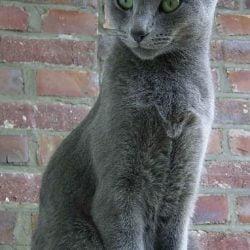 Picture of beautiful 'blue' rescue cat