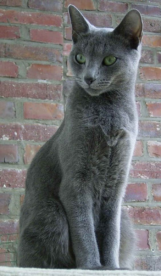 Picture of beautiful 'blue' rescue cat