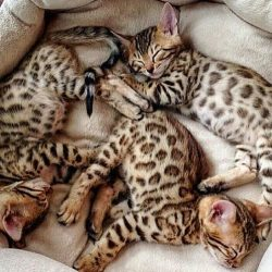 Picture of four desirable Bengal kittens
