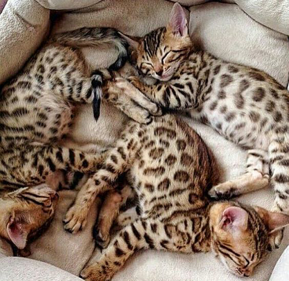 Picture of three desirable Bengal kittens