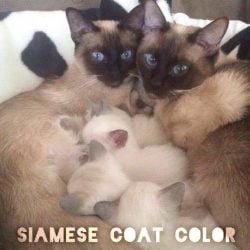 Siamese coat color