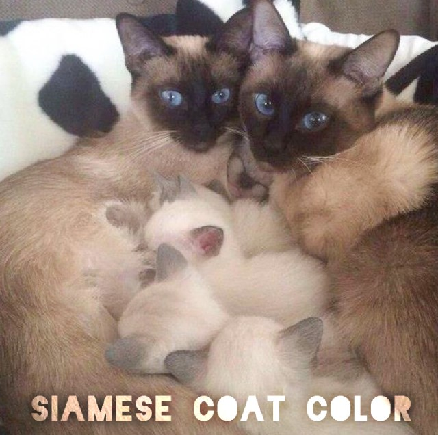 Siamese coat color