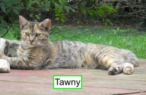Tawny a dilute torbie cat