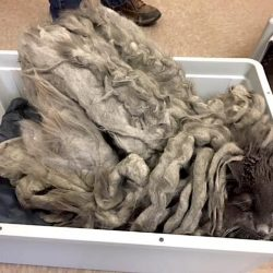 Cat with grossly matted fur due to neglect by owner