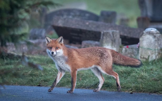 Gorgeous fox. Photo: Getty Images